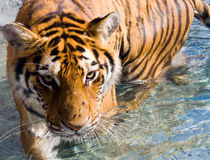 Amur Siberian Tiger Eye Stare in Water. Amur Siberian Tiger walking in water, staring at you with his eyes Royalty Free Stock Photography
