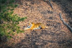 Amur tiger resting in the forest in Russia stock photo