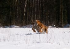 Amur siberian tiger running in the snow - Panthera tigris altaica Royalty Free Stock Photo
