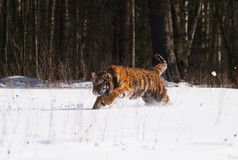 Amur siberian tiger running in the snow - Panthera tigris altaica Royalty Free Stock Photos