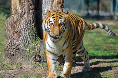 Amur Siberian Tiger Stock Image