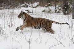 amur siberian tygrys Obrazy Royalty Free
