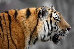 Amur-Sibirier-Tiger lizenzfreies stockfoto