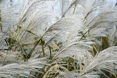 Amur silver grass. Image of flowering plants. Amur silver grass Miscanthus sacchariflorus. Known also as Japanese silver grass Royalty Free Stock Photos