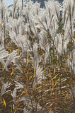 Amur silver grass. (Miscanthus sacchariflorus). Called Japanese silver grass also Stock Image