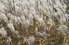 Amur silver grass. (Miscanthus sacchariflorus). Called Japanese silver grass also Royalty Free Stock Photography