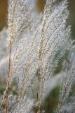 Amur silver grass. Close up image of flowering plants. Amur silver grass Miscanthus sacchariflorus. Known also as Japanese silver grass Royalty Free Stock Photo