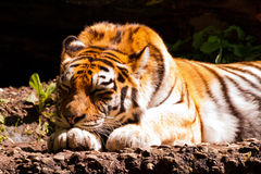 amur sova tiger royaltyfri fotografi