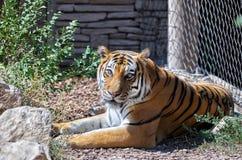 Amur (Syberyjscy) Tygrysi wspaniali skupiający się oczy Zdjęcia Stock