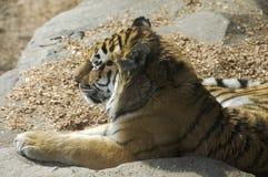 amur target1531_0_ słońce tygrysa zdjęcia stock