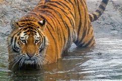 Amur tiger arkivbilder