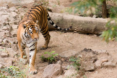 Amur tiger. Big beautiful Amur tiger in Nikolaev zoo Royalty Free Stock Photography