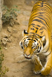 Amur tiger. Lurking along the trail Stock Photo