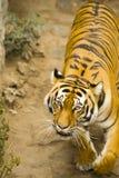 amur tiger Arkivfoto