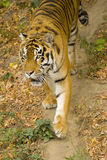 Amur tiger. Lurking along the trail Royalty Free Stock Photography