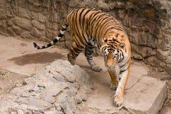 Amur tiger. Big beautiful Amur tiger in Nikolaev zoo Royalty Free Stock Images