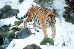 amur tiger Arkivbild