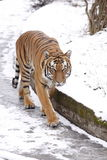 Amur tiger. The amur tiger walking the snowy path Royalty Free Stock Photo