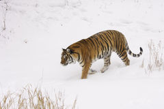 Amur Tiger Stock Photos