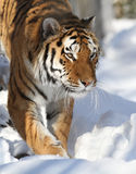 Amur-Tiger Stockfoto