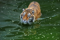 amur tiger Royaltyfri Fotografi