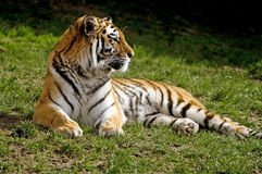 Amur Tiger. (Panthera tigris altaica) looking to right of frame - landscape orientation Royalty Free Stock Photo