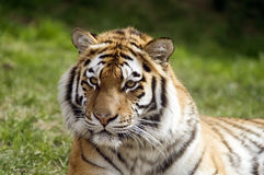 Amur Tiger. (Panthera tigris altaica) looking at viewer - landscape orientation Royalty Free Stock Photography