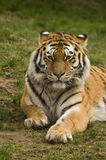 Amur Tiger. (Panthera tigris altaica) looking at viewer - portrait orientation Stock Photos