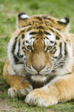 Amur Tiger. (Panthera tigris altaica) looking at viewer - portrait orientation Royalty Free Stock Photography