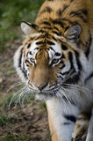 Amur Tiger Royalty Free Stock Photos