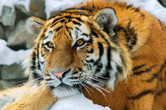 Amur tiger. In the Novosibirsk zoo Stock Photos