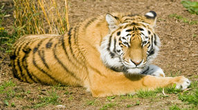 Amur Tiger. (Panthera tigris altaica) looking at viewer - landscape orientation Stock Photo