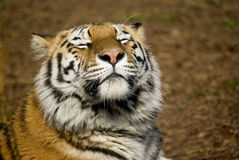 Amur Tiger. (Panthera tigris altaica) sniffing air with eyes closed - landscape orientation Stock Photos