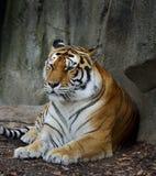 Amur-Tiger lizenzfreies stockbild