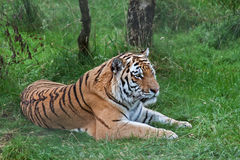 Amur Tiger. The Amur tiger is the largest of all the big cats. Previously known as Siberian tigers royalty free stock photo