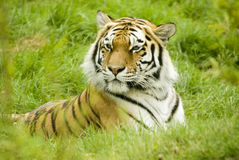 Amur Tiger. (Panthera tigris altaica) looking to left of frame - landscape orientation Stock Images