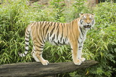 Amur Tiger Royalty Free Stock Image
