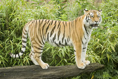 Amur Tiger. (Panthera tigris altaica) looking at viewer - landscape orientation Stock Photography