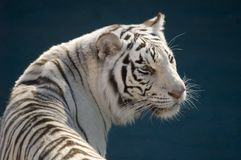 Amur Tiger Royalty Free Stock Photo