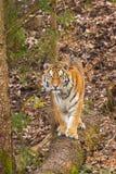 Amur-Tiger Lizenzfreie Stockbilder