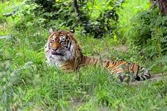 Amur-Tiger Lizenzfreies Stockfoto