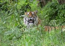 Amur-Tiger Lizenzfreie Stockfotos