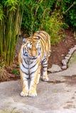 Amur tiger Fotografering för Bildbyråer