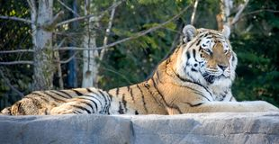 Amur tiger 8 Royalty Free Stock Photography