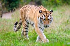 Amur-Tiger stockfoto