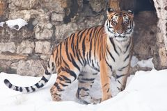 The Amur tiger against a stone wall and a snow-rare animal of the Far East-Russia and China stock images