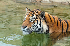 The Amur tiger altaica swims in water Stock Images
