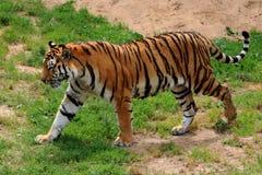 Amur, Tiger, Angry Stock Photo