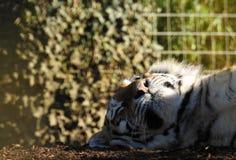 Amur Tiger Basking en sol fotografía de archivo libre de regalías