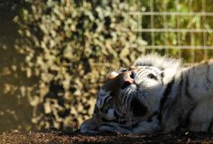 Amur Tiger Basking in Sunshine royalty free stock photography